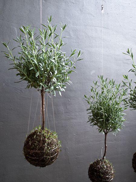 Ako kokedama sa dá pestovať takmer všetko, trebárs levanduľa