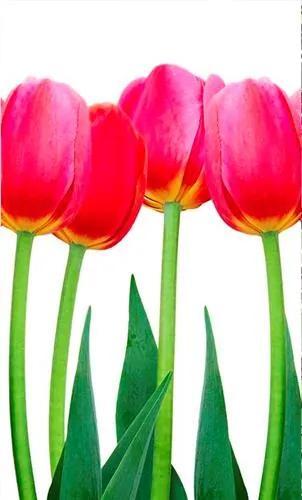 Vliesové fototapety, rozmer 150 cm x 250 cm, tulipány, DIMEX MS-2-0126