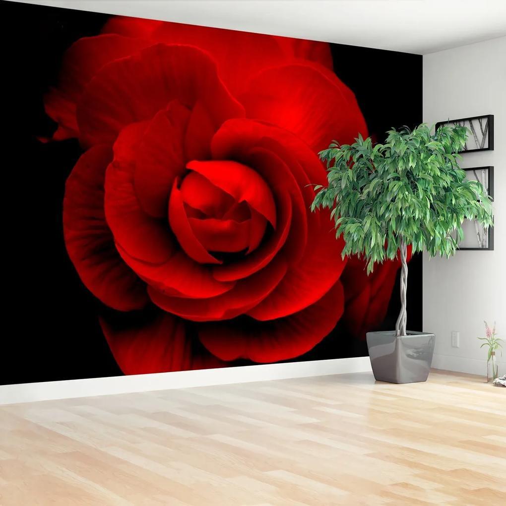 Fototapeta červená ruža