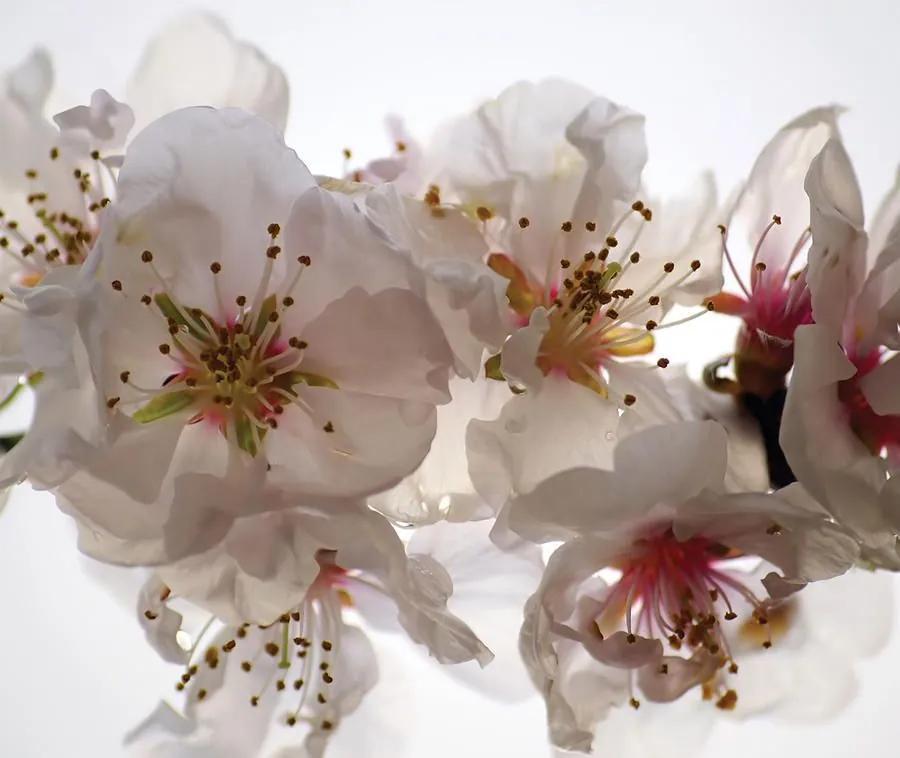 MAXMAX Dizajnový záves jabloňové kvety 180x160 cm