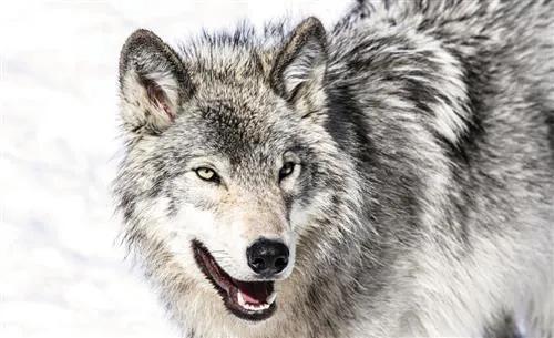 Fototapety, rozmer 368 x 254 cm, vlk, IMPOL TRADE 2939 P8