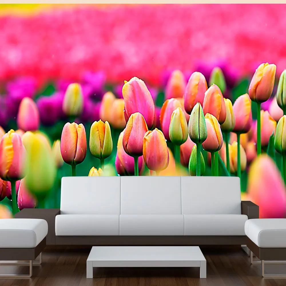 Fototapeta - Field of tulips 200x154