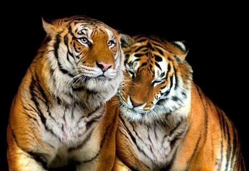 Vliesové fototapety, rozmer 312 x 219 cm, tigre, IMPOL TRADE 130V