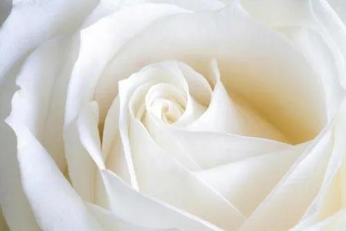 Fototapety, rozmer 368 x 254 cm, biela ruže, IMPOL TRADE 8-001