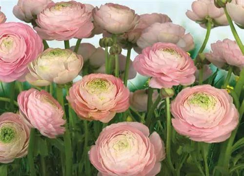 Fototapety, rozmer 368 x 254 cm, ruže, Komar 8-894