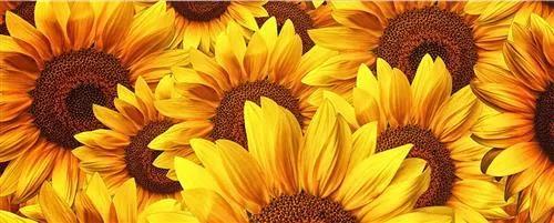 Vliesové fototapety, rozmer 375 cm x 150 cm, kvety slnečnic, DIMEX MP-2-0129