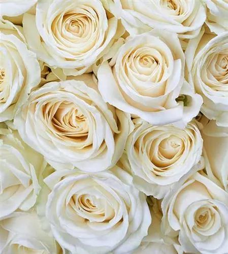 Vliesové fototapety, rozmer 225 cm x 250 cm, biele ruže, DIMEX MS-3-0137