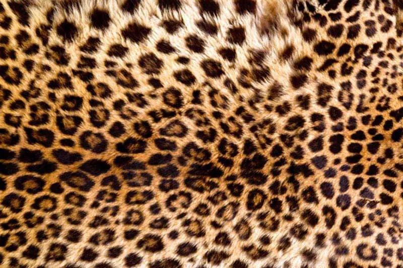 Dimex fototapeta Koža leoparda XL-558 | 330 x 220 cm