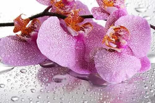 Vliesové fototapety, rozmer 312 x 219 cm, orchidea, IMPOL TRADE 184V