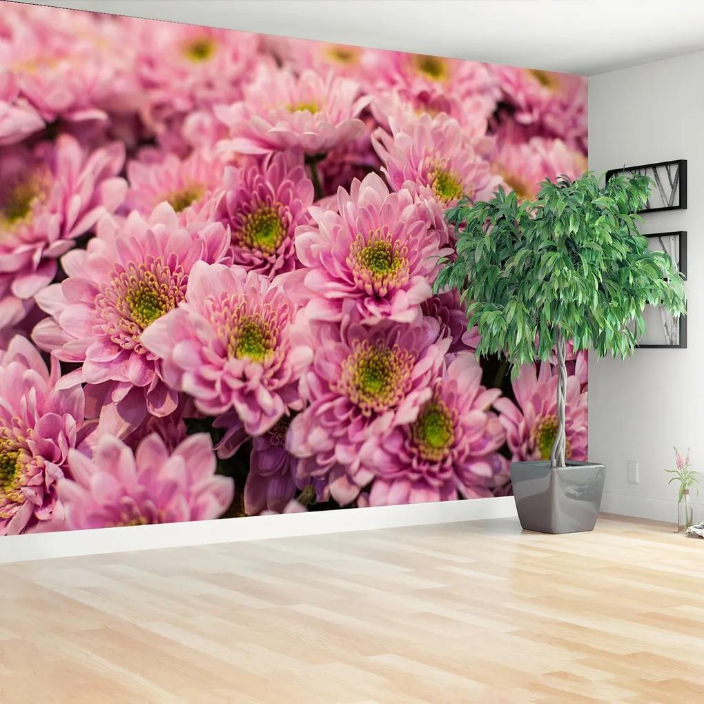 Fototapeta Růžové chryzantémy