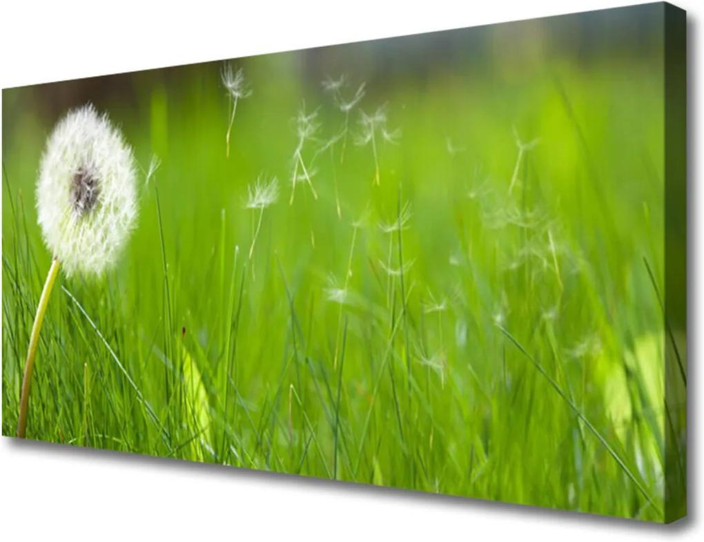 Obraz na plátně Pampeliška tráva rostlina