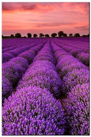 Tlačený obraz Úžasná levanduľová krajina 1996A_1S