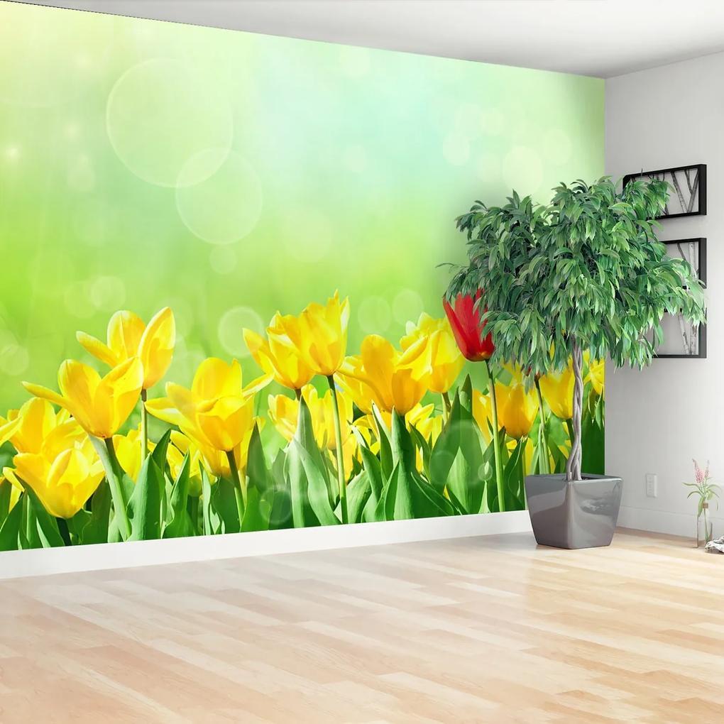 Fototapeta Žluté tulipány