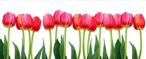 Vliesové fototapety, rozmer 375 cm x 150 cm, tulipány, DIMEX MP-2-0126