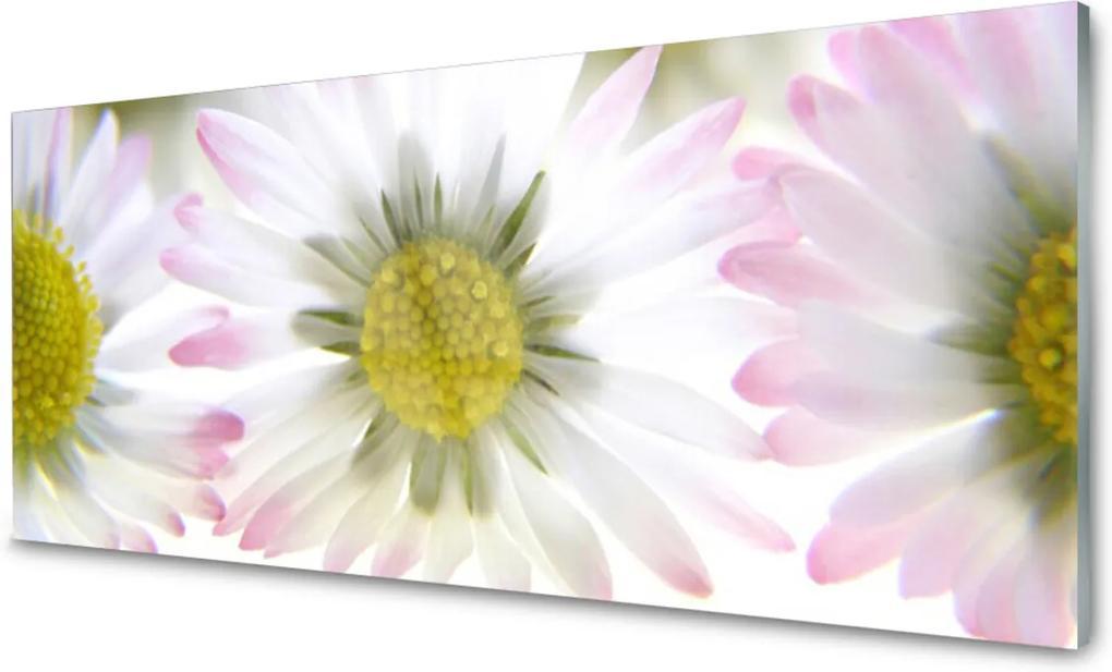 Obraz na akrylátovom skle Sedmokráska Rastlina Príroda