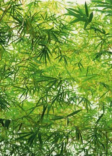 Fototapety, rozmer 183 x 254 cm, bambus, W+G 372