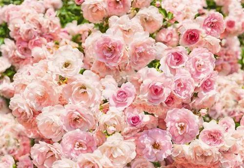 Fototapety, rozmer 368 x 254 cm, ruže, KOMAR 8-937