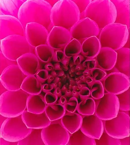 Vliesové fototapety, rozmer 225 cm x 250 cm, ružové dahli, DIMEX MS-3-0132