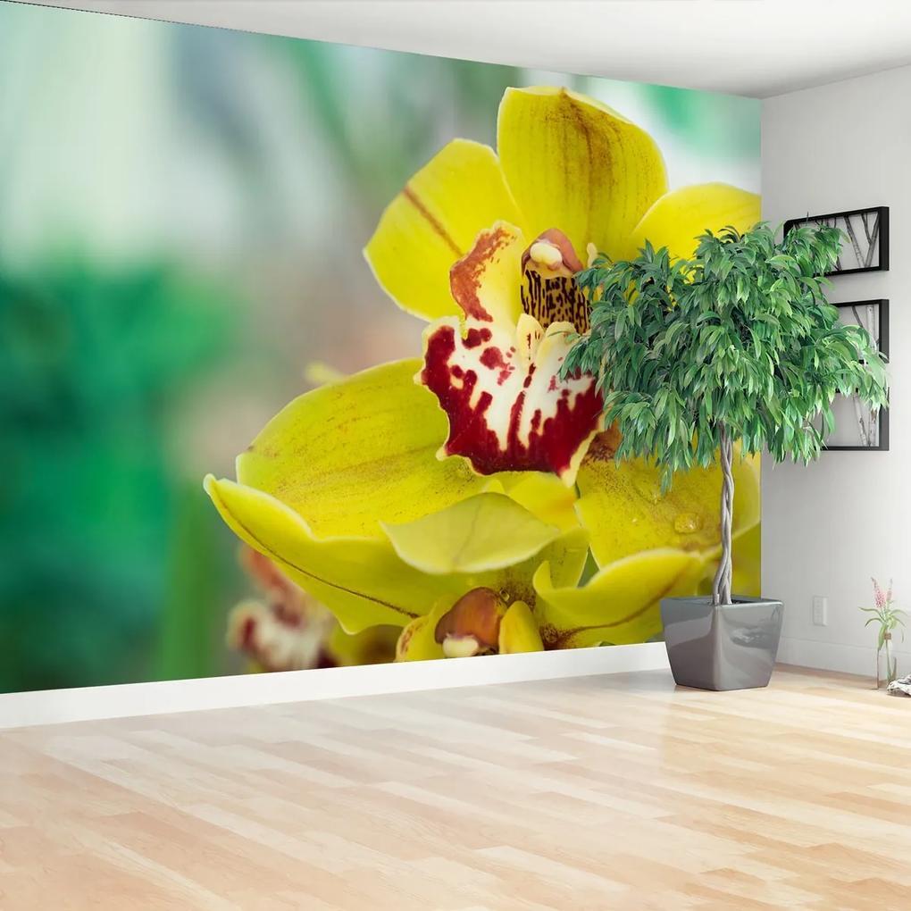 Fototapeta Žlutá orchidej