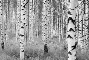 Vliesové fototapety, rozmer 368 x 248 cm, brezy, KOMAR XXL4-023