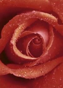 Fototapety, rozmer 183 x 254 cm, ruže, W+G 368
