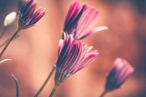 Obraz jemné ružové margarétky