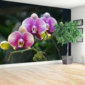 Fototapeta fialová orchidea