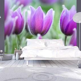 Fototapeta - Fialové jarné tulipány 200x154 + zadarmo lepidlo