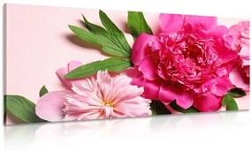 Obraz pivonky v ružovej farbe