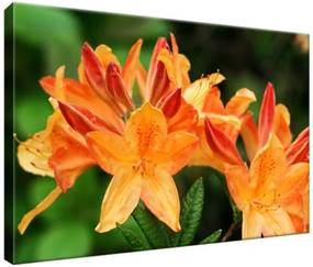 Obraz na plátne Rododendron Azalka oranžová 30x20cm 124A_1T
