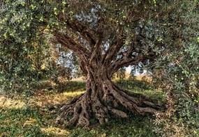 Fototapety, rozmer 368 x 254 cm, olivový strom, KOMAR 8-531