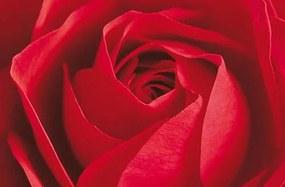Fototapety, rozmer 175 x 115 cm, ruže, W+G 680