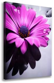 Foto-obraz canvas do obývačky ružová gerbera pl-oc-70x100-f-104053300