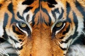 Fototapety, rozmer 175 x 115 cm, tiger, W+G 00608