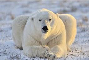 Dimex SK Fototapeta Ľadový medveď MS-0220 2 rôzne rozmery XL - š-375 x v-250 cm